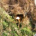 Rae deer